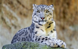 Preview wallpaper Snow leopard, predator, rock