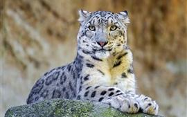 Leopardo de neve, predador, rock