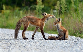Two foxes, nature summer