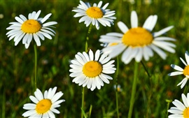 Preview wallpaper White daisies, pretty flowers, spring