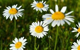 Margaridas brancas, flores bonitas, primavera
