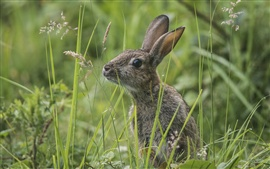 Wild bunny in the grass, gray rabbit