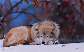 Preview wallpaper Winter snow, wolf lying ground