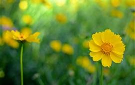 미리보기 배경 화면 노란색 kosmeya 꽃, 배경 흐림
