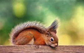 Preview wallpaper Canada, autumn, red squirrel rest