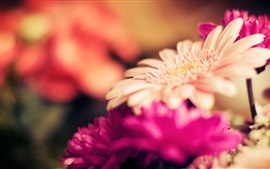 Preview wallpaper Focus gerbera flowers, petals, blur photography