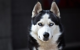 Preview wallpaper Husky dog, blue eyes, white black