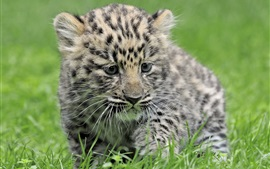 Leopard baby, green grass