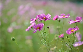 Pink flowers, petals, buds, blur focus Wallpapers Pictures Photos Images