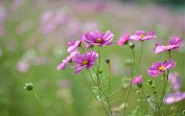 Розовые цветы, лепестки, бутоны, размытие фокуса