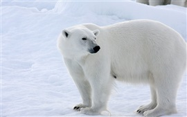 Preview wallpaper Polar bear, snow, winter, white color