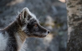 Preview wallpaper Side view of black Arctic fox