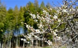 Primavera, árvore, flor, flores brancas