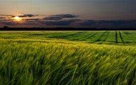Закат пейзажи, природа, поля пшеницы, сумерки