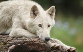Белый полярный волк взгляд