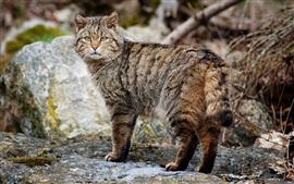 wildcat mirar hacia atrás