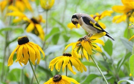 Preview wallpaper Yellow flowers, rudbeckia, bird, goldfinch