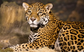 Animais close-up, jaguar, predador