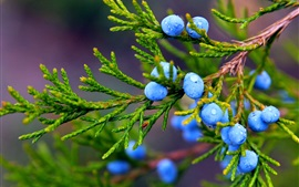 Preview wallpaper Autumn, nature, juniper, blue berries, water drops