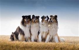 Лучшие друзья, австралийская овчарка, трава