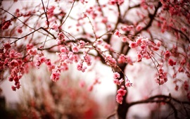 Cherry flowers, spring, branches, pink