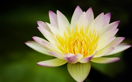 Preview wallpaper Flower, lotus, yellow white, water lily