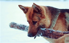 German Shepherd, snow, dog