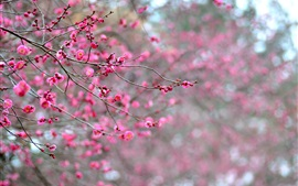Preview wallpaper Japan, pink apricot flowers, branches, blossoms
