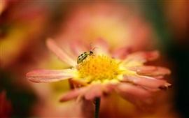 Flor anaranjada, macro, insectos, mariquita, desenfoque
