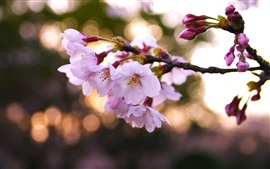 Preview wallpaper Pink cherry flowers, petals, spring, glare, blur