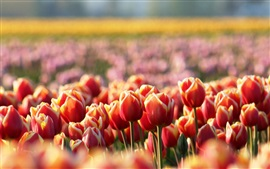 Red tulips, flowers, spring, blur Wallpapers Pictures Photos Images