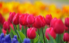 Preview wallpaper Red tulips, yellow flowers, hyacinths, spring nature