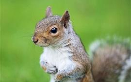 Esquilo, roedor, olhos, grama verde