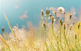 Preview wallpaper Summer, field, grass, dandelions, drops, dew, highlights, morning