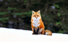 Preview wallpaper Winter, fox, snow, forest
