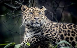 Leopardo animal, predador