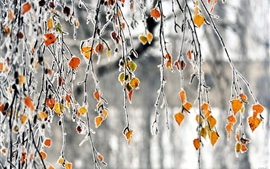 Autumn, branches, yellow leaves, frost