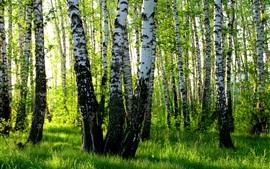 Abedul blanco, verano, bosque