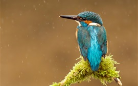 Preview wallpaper Bird, kingfisher, rain, tree branch
