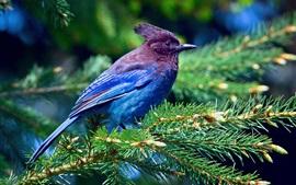 Синие перья птицы, ель, ветви, лес