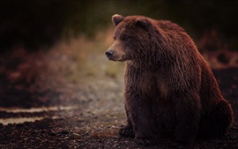 Preview wallpaper Brown bear, wet, sit