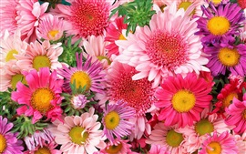 Preview wallpaper Colorful flowers, chrysanthemum, pink