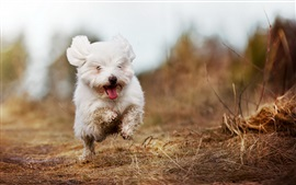 Preview wallpaper Cute white dog running
