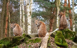 Preview wallpaper Forest animals, lynx, wood, stones