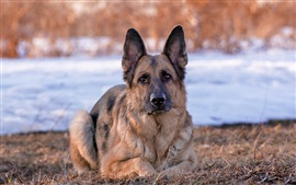 Preview wallpaper German Shepherd dog, front view