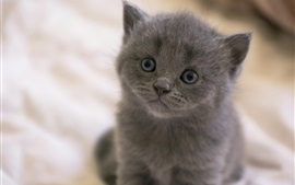 Preview wallpaper Gray kitten, eyes, snout, bokeh