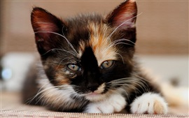 Preview wallpaper Kitten, tricolor, attractive face