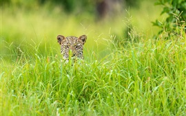 Leopard hidden in the grass, Africa, the green season