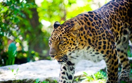 Preview wallpaper Leopard predation, forest