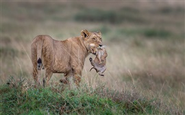 Preview wallpaper Lioness with cubs, wildlife